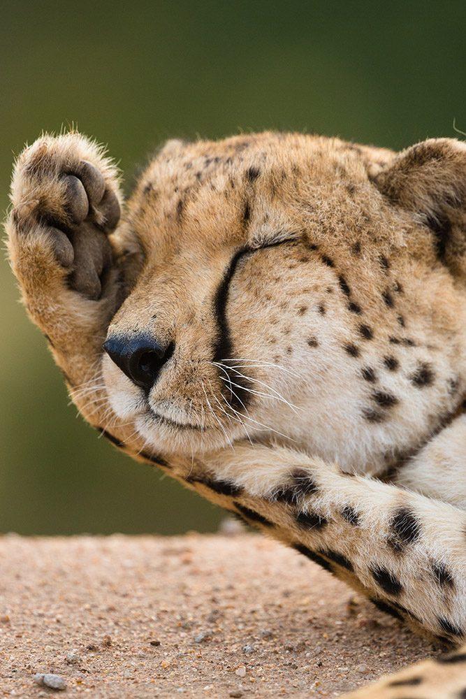 Luxury Safari Leopard on a rock