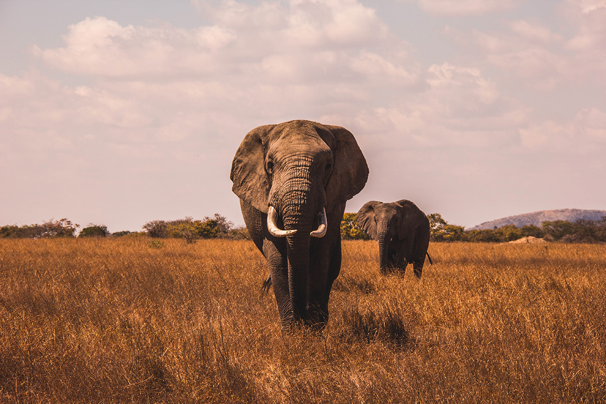 Luxury Safari Elephant