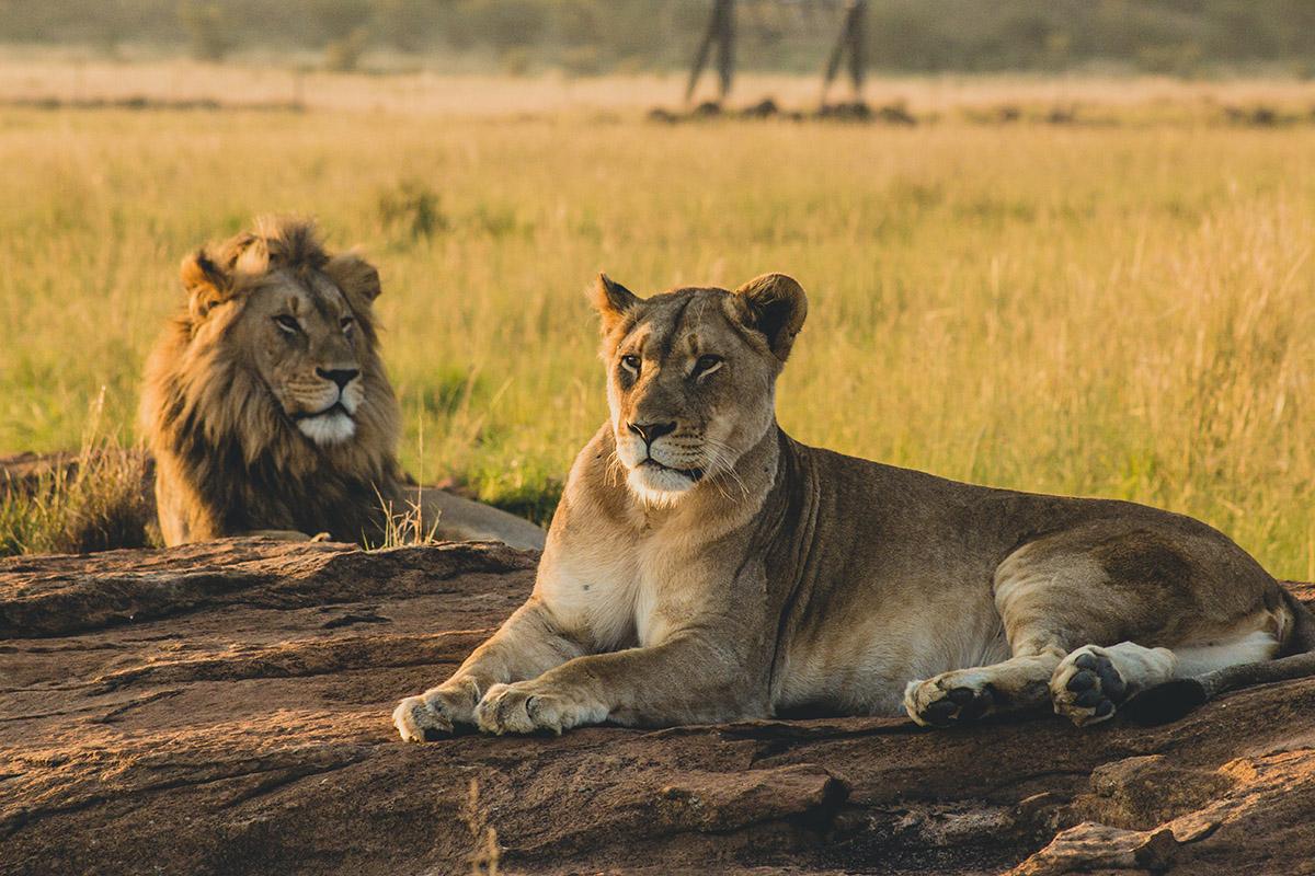 Luxury Safari Lions